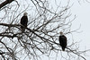 Bald Eagles @ Choteau Island