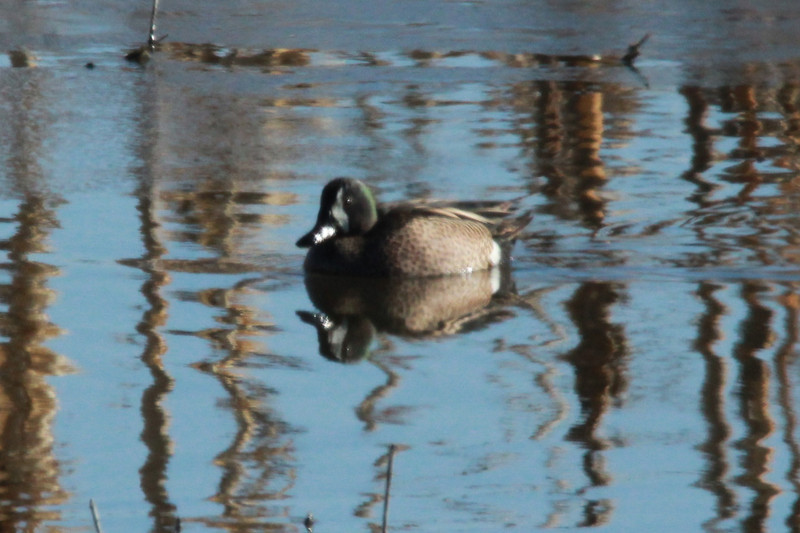 Blue-winged Teal (Male) @ Eagle Bluffs CA