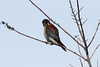American Kestrel (Male) @ Bellefontaine CA