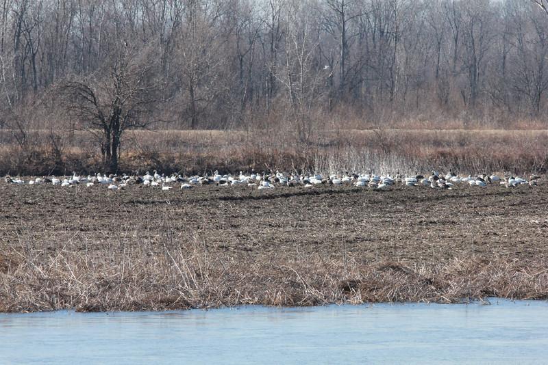 Snow Geese @ Eagle Bluffs CA