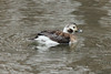 Long-tailed Duck (Female) @ Creve Coeur CP [Sailboat Cove]