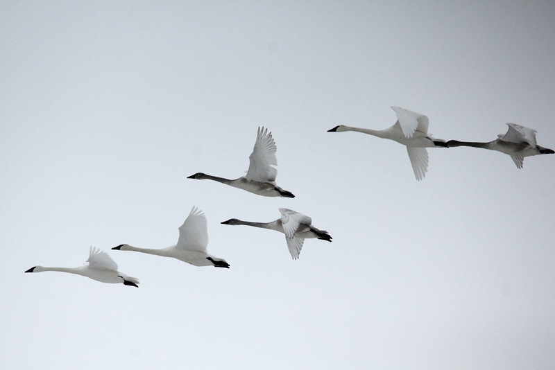 Trumpeter Swans @ Riverlands MBS [Confluence Road