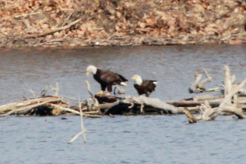 Bald Eagles @ Simpson Lake CP [near boat ramp]