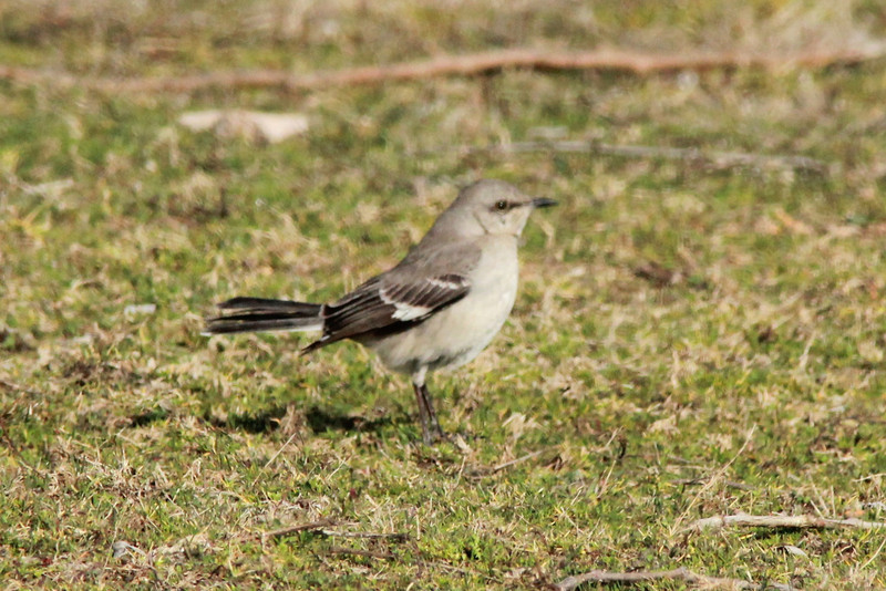 Northern Mockingbird @ Simpson Lake CP