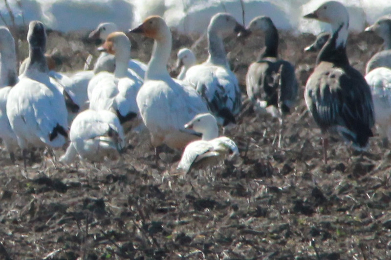 Ross's Goose with Snow Geese @ Eagle Bluffs CA