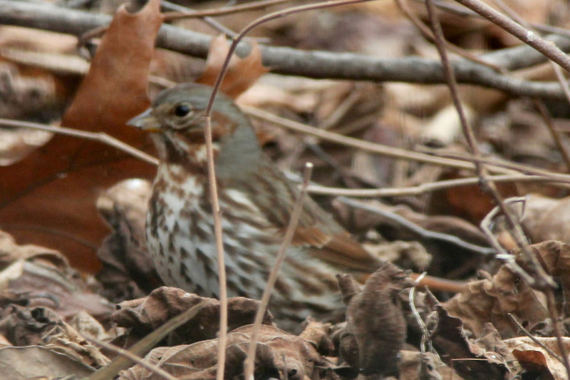Fox Sparrow @ Columbia Bottom CA [Visitor Center]