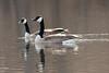 Canada Geese (Pair) @ Simpson Lake CP [Spillway]