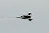 Long-tailed Duck (Male) @ Horseshoe Lake SP