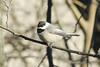 Carolina Chickadee @ Grand Glaize Creek