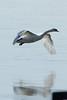 Mute Swan @ Riverlands MBS [Ellis Bay]