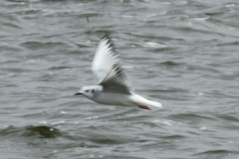Bonaparte's Gull @ Baldwin Lake