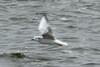 Bonaparte's Gull @ Baldwin Lake