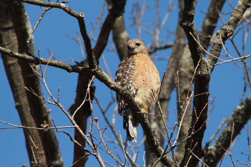 Red-shouldered Hawk @ Rockwoods Reservation