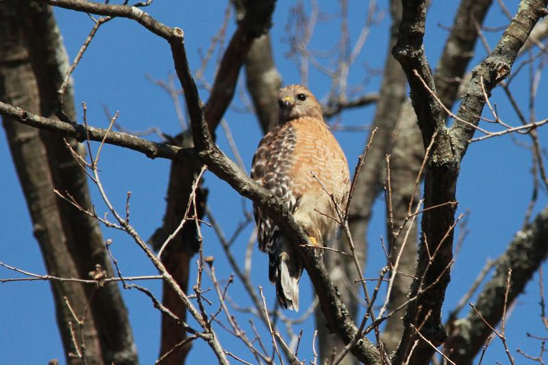 Red-shouldered Hawk @ Rockwoods Reservation