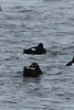 White-winged Scoters @ Melvin Price Locks and Dam [Mississippi River]