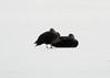 American Black Ducks @ Riverlands MBS [Heron Pond]