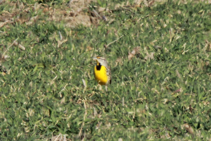 Eastern Meadowlark @ Columbia Bottom CA