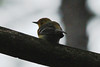 Pine Warbler @ Shaw Nature Reserve [Quarry Road]