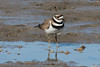 Killdeer @ Columbia Bottom CA