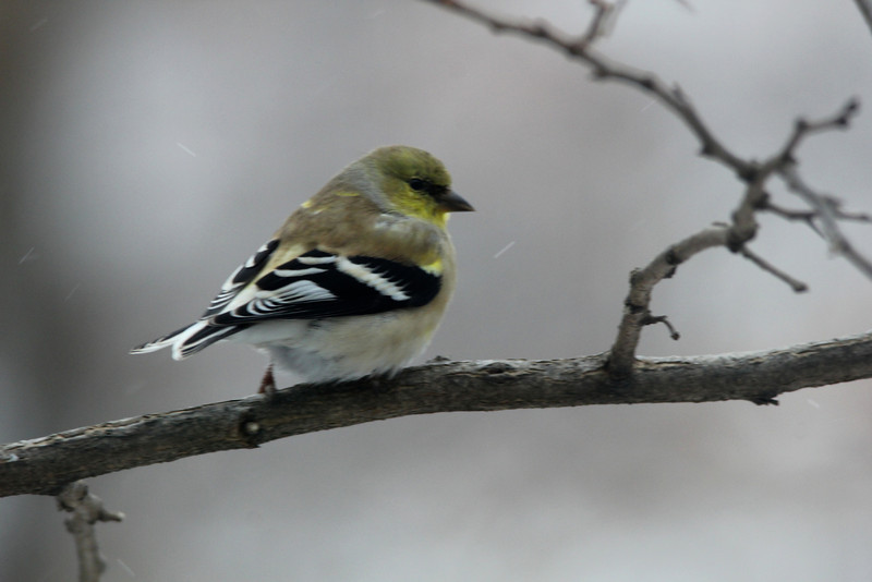 American Goldfinch @ Grand Glaize Creek