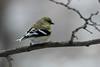 American Goldfinch @ Grand Glaize Creek