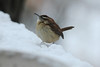 Carolina Wren @ Grand Glaize Creek