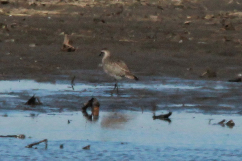 American Golden Plover @ Columbia Bottom CA