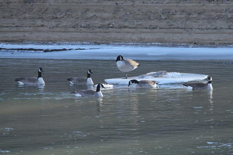 Canada Geese @ Meramec Landing Park [Meramec River]