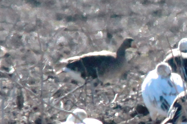 Greater White-fronted Goose @ Eagle Bluffs CA