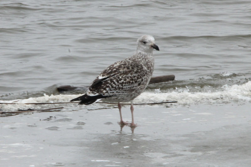 Great Black-backed Gull (1st Cycle Winter) @ Riverlands MBS [Ellis Bay]