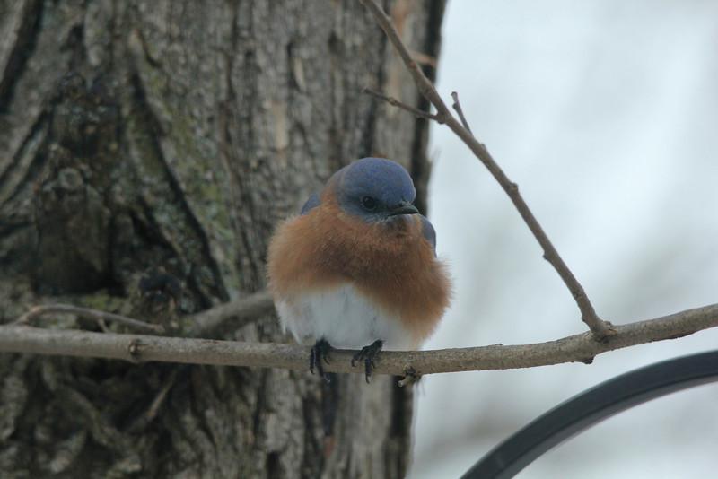 Eastern Bluebird (Male) @ Grand Glaize Creek