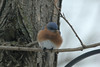 Eastern Bluebird (Male) @ Grand Glaize Creek