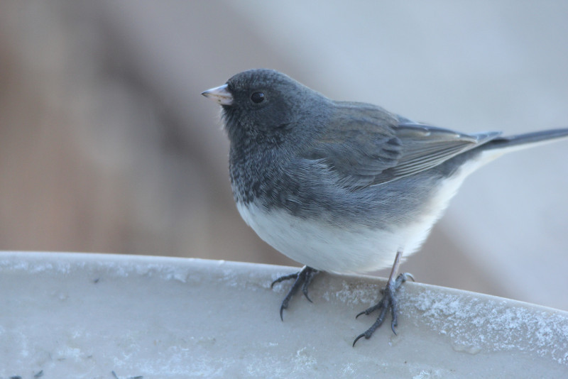 """Slate-colored"" Dark-eyed Junco @ Grand Glaize Creek"