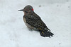 """Yellow-shafted"" Northern Flicker @ Grand Glaize Creek"