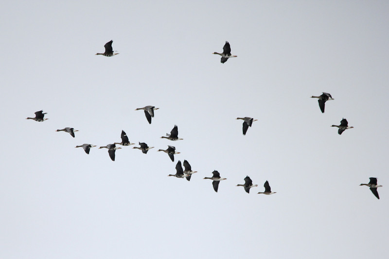 Greater White-fronted Geese @ Riverlands MBS [over Heron Pond]