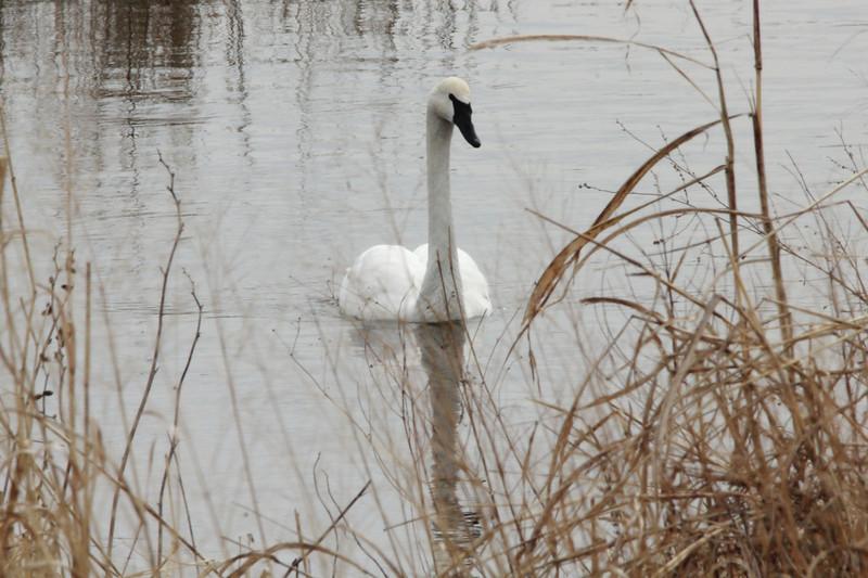 Trumpeter Swan @ Riverlands MBS [Heron Pond]