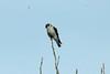 American Kestrel @ Riverlands MBS [Audubon Visitor Center]