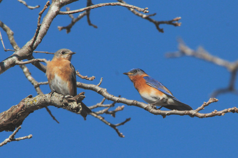 Eastern Bluebirds (Pair) @ Shaw Nature Reserve