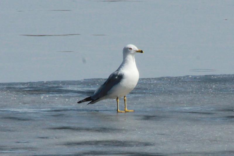 Ring-billed Gull @ Simpson Lake CP