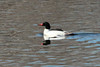 Common Merganser (Male) @ Eagle Bluffs CA