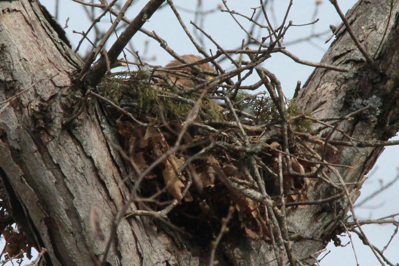 Red-shouldered Hawk (on nest) @ Rockwoods Reservation