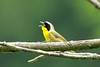 Common Yellowthroat @ Trail of Tears SP