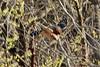 Red-shouldered Hawk @ Rockwoods Reservation [over Prairie]