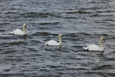 Mute Swans @ Riverlands MBS [Teal Pond]