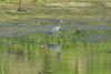 Little Blue Heron @ Simpson Lake CP [Water-treatment Ponds]