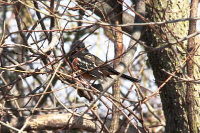 Spotted Towhee @ Columbia Bottom CA [Visitor Center]