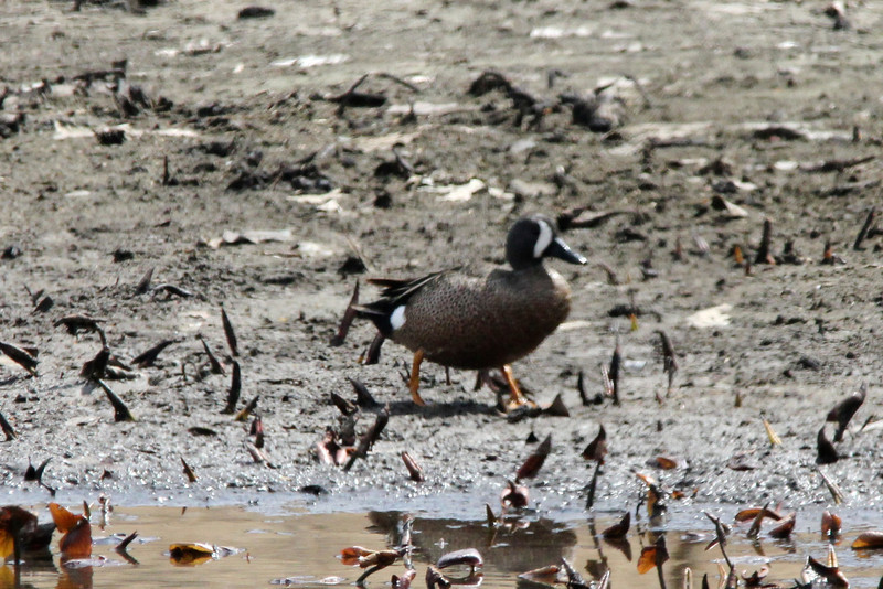 Blue-winged Teal (Male) @ Shaw Nature Reserve [Wetlands Trail]