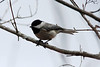 Carolina Chickadee @ Shaw Nature Reserve [Wetlands Trail]