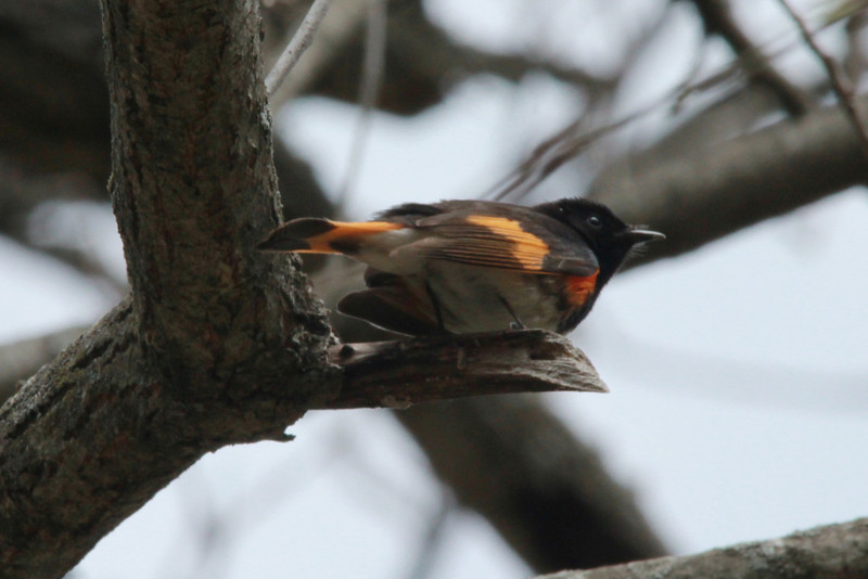 American Redstart (Male) @ Lost Valley Trail