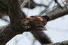 American Redstart (Male) @ Lost Valley Trail